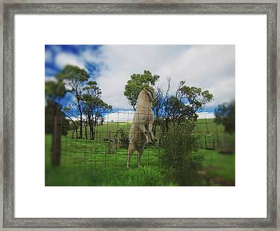 Billy Goat At The Lookout Post Framed Print by Douglas Barnard