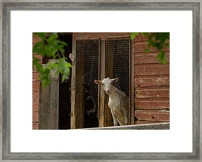 Framed Print featuring the photograph Billy Goat by Dan Traun