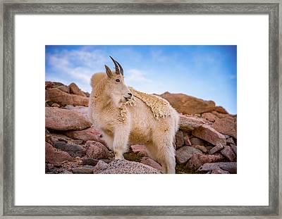 Billy Goat's Scruff Framed Print by Darren White