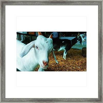 #billygoat #farm #sussex #animals Framed Print by Natalie Anne