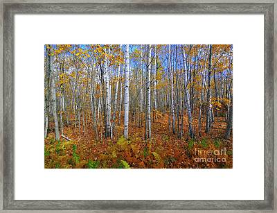 Birch Forest Autumn  Framed Print by Catherine Reusch Daley