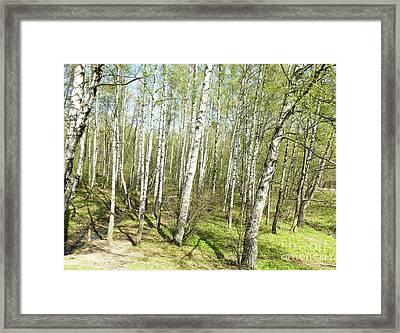 Birch Forest In Spring Framed Print