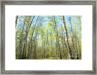Birch Forest Spring Framed Print