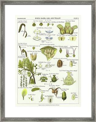 Birch, Hazel, Oak, And Willow Framed Print by English School