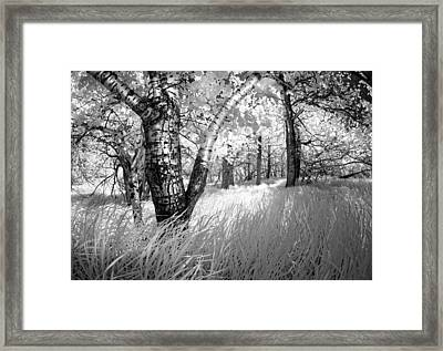 Birch In The Tall Grass Framed Print