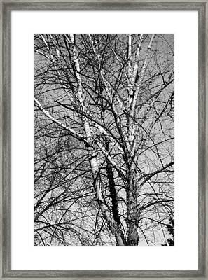 Birch Framed Print by Jame Hayes