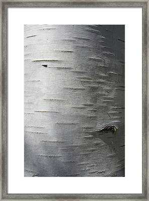 Birch Slits And Shadows Framed Print