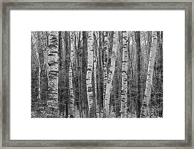 Birch Stand Framed Print