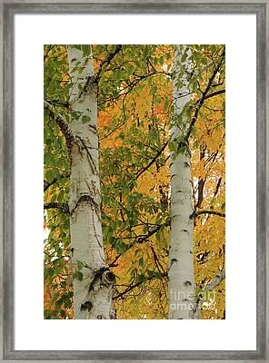 Birch Tree Framed Print