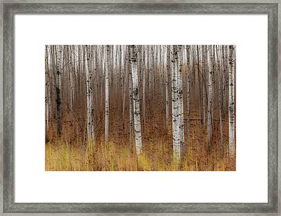 Birch Trees Abstract #2 Framed Print