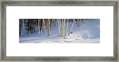 Birch Trees In The Snow, South Framed Print