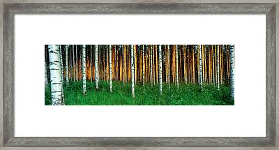 Birch Trees, Saimma, Lakelands, Finland Framed Print by Panoramic Images