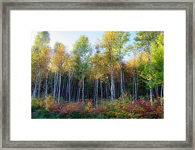 Birch Trees Turn To Gold Framed Print