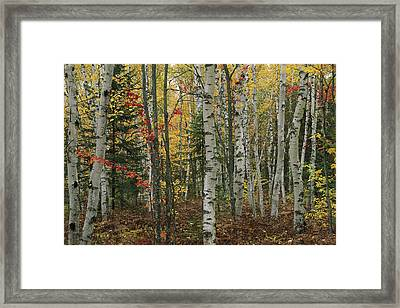 Birch Trees With Autumn Foliage Framed Print by Medford Taylor