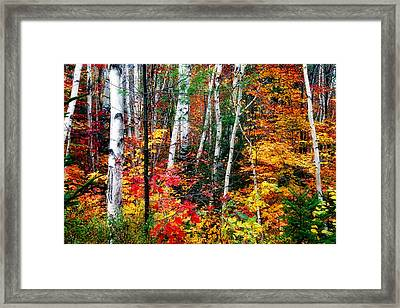 Birch Trees With Colorful Fall Foliage Framed Print
