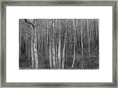 Birch Tress Framed Print