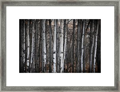 Birches Framed Print by Diane Dugas
