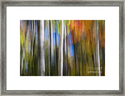 Birches In Autumn Forest Framed Print by Elena Elisseeva