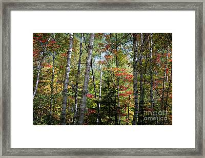 Framed Print featuring the photograph Birches In Fall Forest by Elena Elisseeva