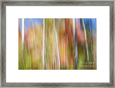 Birches In Sunny Fall Forest Framed Print by Elena Elisseeva