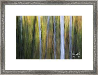 Birches In Twilight Framed Print by Elena Elisseeva