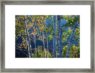 Birches On Lake Shore Framed Print