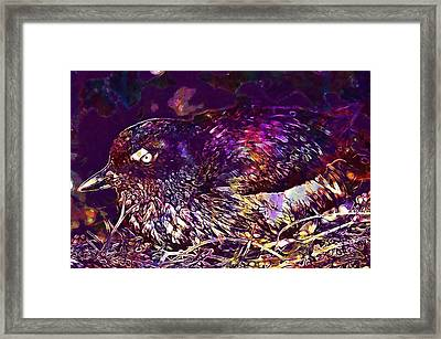 Bird Cassins Auklet Crested Birds  Framed Print