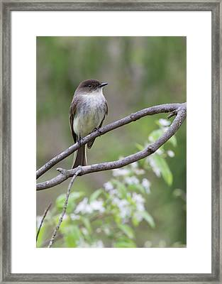 Bird - Eastern Phoebe Framed Print