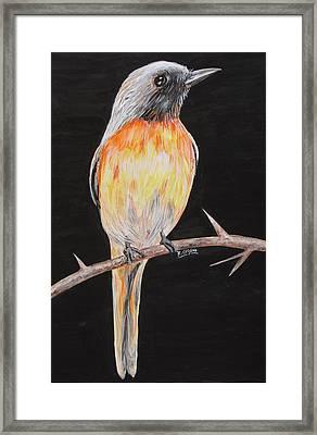 Bird Minivet Framed Print by Rajesh Chopra