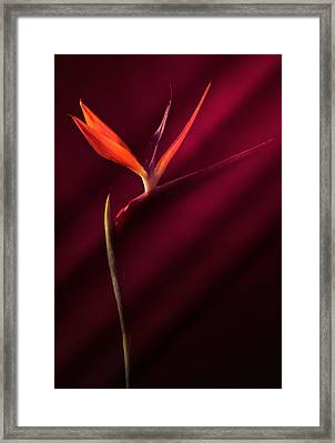 Bird Of Paradise 1 Framed Print by Joseph Gerges