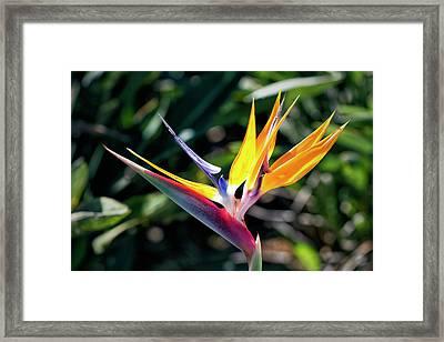 Bird Of Paradise Framed Print by Brad Granger