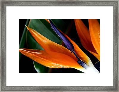 Bird Of Paradise Framed Print by Diane Merkle