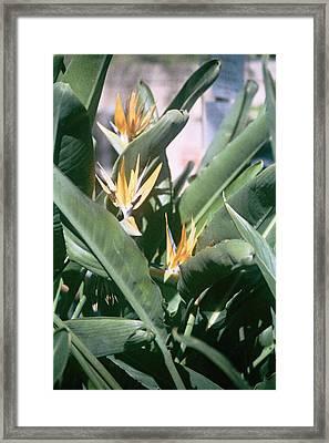 Bird Of Paradise Framed Print by E M Murray