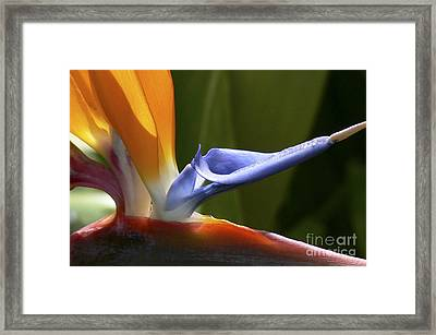 Bird Of Paradise Flower Detail Framed Print by Heiko Koehrer-Wagner