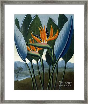 Bird Of Paradise Flower  The Queen Framed Print by Peter Charles Henderson