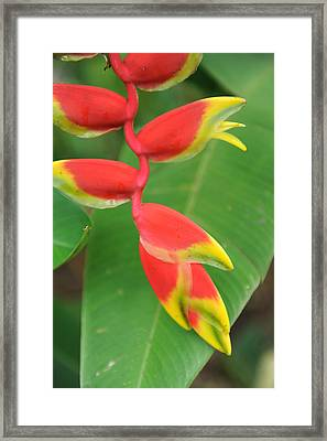 Bird Of Paradise Framed Print by Jessica Rose