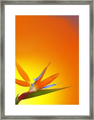 Bird Of Paradise Orange Framed Print by Mark Rogan