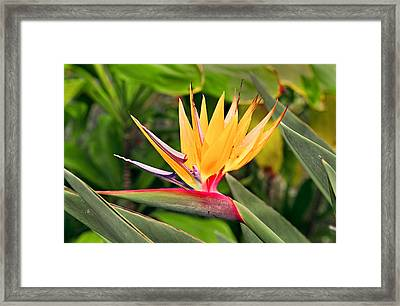 Bird Of Paradise Photo Framed Print by Peter J Sucy