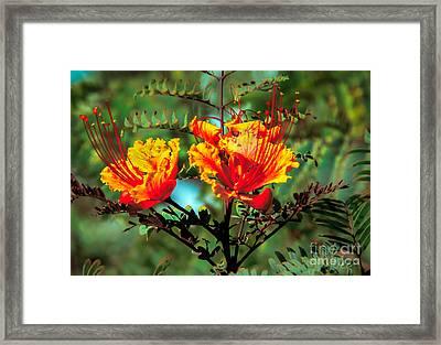 Bird Of Paradise Framed Print by Robert Bales