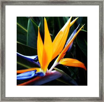 Bird Of Paradise Framed Print by Rose  Hill