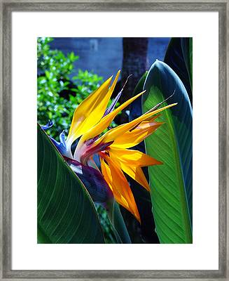 Bird Of Paradise Framed Print by Susanne Van Hulst