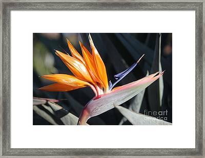 Framed Print featuring the photograph Bird Of Paradise by Wilko Van de Kamp