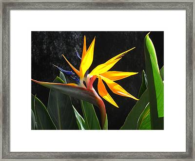 Framed Print featuring the photograph Bird Of Paradise by Yolanda Koh