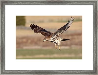 Bird Of Prey Framed Print by Adam Smith
