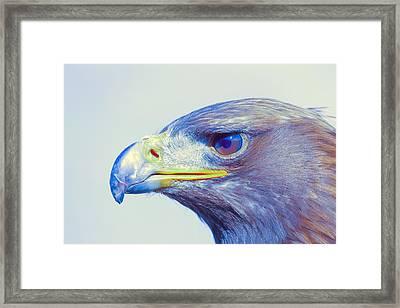 Bird Of Prey - Eagle 1 Framed Print
