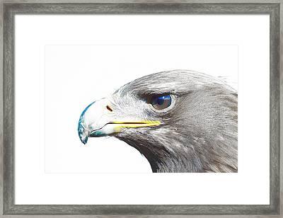 Bird Of Prey - Eagle 2 Framed Print