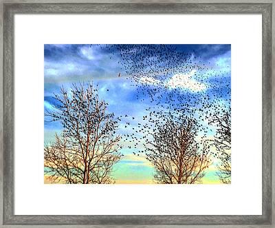 Bird Swarms Versus Hawks On The Prairie Framed Print