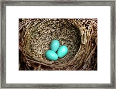 Birds Nest American Robin Framed Print
