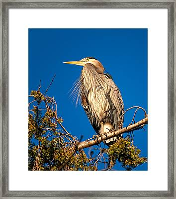 Birds Of Bc - No.7 - Great Blue Heron - Ardea Herodias Framed Print by Paul W Sharpe Aka Wizard of Wonders