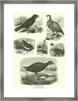 Birds Of Palestine  Framed Print by English School